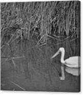 American White Pelican Among Reeds         Minnesota Zoo          Autumn Canvas Print