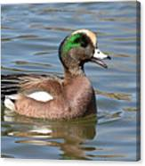 American Widgeon Calling From The Water Canvas Print