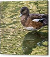 American Wigeon In Autumn Canvas Print