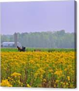 Amish Buggy And Yellow Field Canvas Print