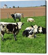Amish Farm With Spotted Cows And Cattle In A Field Canvas Print