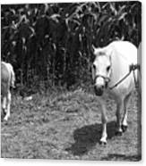 Amish Girl With Her Colt Canvas Print