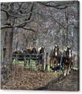 Amish Horses In Harness Canvas Print