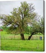 Amish Man And Tree Canvas Print