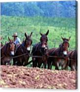 Amish Plowing The Fields With Mules Canvas Print