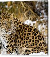 Amur Leopard In A Snowy Forrest Canvas Print