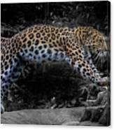 Amur Leopard On The Hunt Canvas Print
