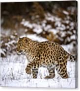 Amur Leopard Walks In A Snowy Forest Canvas Print