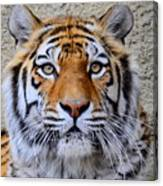 Amur Siberian Tiger Canvas Print