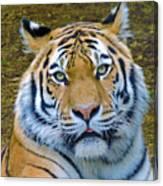 Amur Tiger 1 Canvas Print