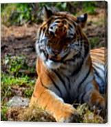 Amur Tiger 4 Canvas Print