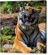 Amur Tiger 7 Canvas Print