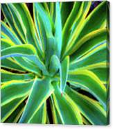 An Agave In Color  Canvas Print