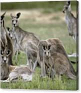 An Alert Mob Of Eastern Grey Kangaroos Canvas Print