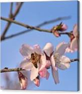An Almond Tree Blooming Canvas Print
