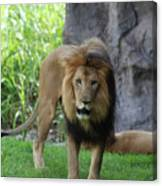 An Amazing Look At A Prowling Lion Standing In Grass Canvas Print