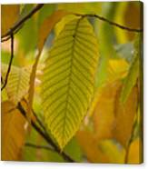 An American Chestnut Tree Castanea Canvas Print