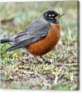An American Robin With Muddy Beak Canvas Print