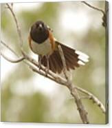 An Angry Towhee Canvas Print