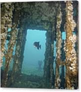 An Atlantic Spadefish Swims Amongst Canvas Print
