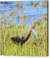 An Ibis In The Grass Canvas Print