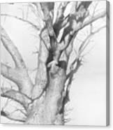 An Oak In The Park 2002  Canvas Print