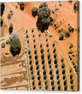 An Olive Grove Between The Succulent Canvas Print