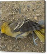 An Orchard Oriole On A Gravel Road Canvas Print