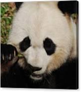 An Up Close Look At A Giant Panda Bear Canvas Print