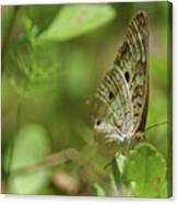 Anartia Butterfly In Wonderland  Canvas Print