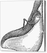 Anatomy: Liver Canvas Print