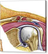 Anatomy Of Left Shoulder, Coronal View Canvas Print