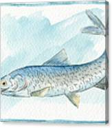 Anchovy Canvas Print