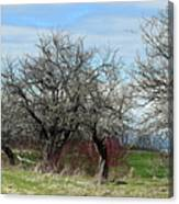 Ancient Apples Budding Out Canvas Print
