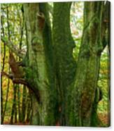 Ancient German Oak Trees In Sababurg Canvas Print