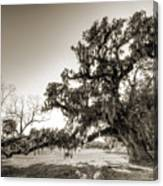Ancient Live Oak Tree Canvas Print