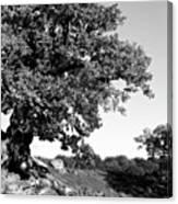 Ancient Oak, Bradgate Park Canvas Print