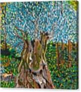 Ancient Olive Tree Canvas Print