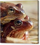 And Then I Found You. European Common Brown Frog Canvas Print