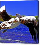 And The Seagull Follows Pelican Canvas Print