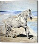 Andalusian Horse Canvas Print