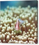 Anemone And Pink Clownfish Canvas Print