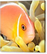 Anemone, Close-up Canvas Print
