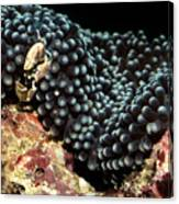 Anemone Crab Canvas Print