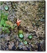 Anemone Reflection  Canvas Print