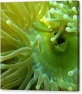 Anemone Shrimp2 Canvas Print