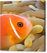Anemonefish Canvas Print