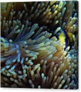 Anemonefish Hiding Canvas Print