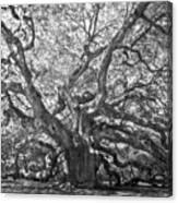 Angel Oak II Canvas Print
