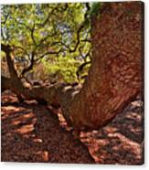 Angel Oak Tree 003 Canvas Print